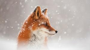 Fox Snowfall Wildlife 2500x1667 Wallpaper
