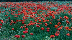 Flower Poppy Red Flower Summer 4607x2651 Wallpaper