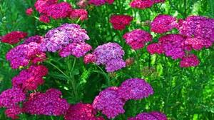 Flower Pink Flower Purple Flower Verbena 3000x2000 Wallpaper