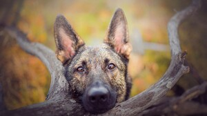 Animal Dog German Shepherd Pet Stare 5112x2978 Wallpaper