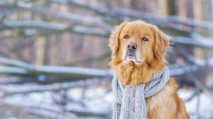 Depth Of Field Dog Golden Retriever Pet Scarf Winter 4608x3072 Wallpaper