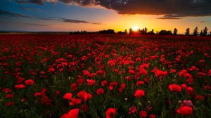 Field Flower Horizon Nature Poppy Red Flower Summer Sunrise 1920x1168 wallpaper