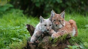 Big Cat Lynx Wildlife Predator Animal 2560x1440 wallpaper