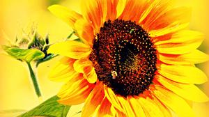 Close Up Flower Nature Summer Sunflower Yellow Flower 1920x1278 Wallpaper