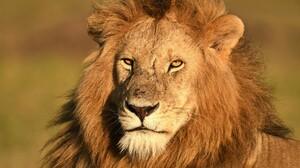 Predator Animal Big Cat Africa Kenya Maasai Mara National Reserve Wildlife 5380x3524 wallpaper