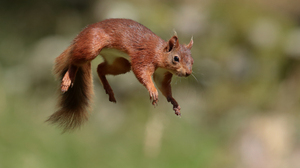 Animal Blur Jump Rodent Squirrel Wildlife 2048x1365 Wallpaper