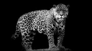 Animal Jaguar 2048x1365 Wallpaper