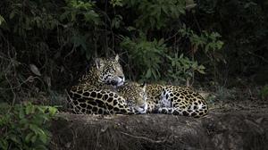 Big Cat Jaguar Love Wildlife 2048x1366 Wallpaper
