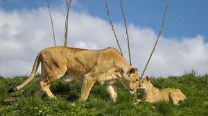 Animal Lion 2700x1800 Wallpaper