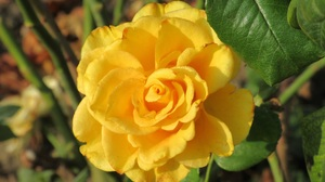 Yellow Rose 1920x1440 Wallpaper