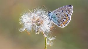 Butterfly Dandelion Insect Macro 2048x1367 Wallpaper