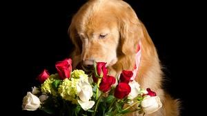 Dog Flower Golden Retriever Pet Rose 2560x1696 wallpaper