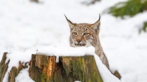 Big Cat Lynx Snow Wildlife Predator Animal 2000x1331 wallpaper