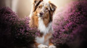 Dog Pet Lavender Pink Flower 2048x1365 Wallpaper