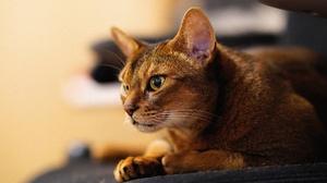 Abyssinian Cat Cat Muzzle Pet 4000x2666 Wallpaper