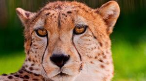Animal Big Cat Cheetah Close Up Face Predator Animal 1920x1040 Wallpaper