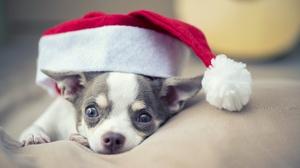 Chihuahua Dog Pet Santa Hat 6016x4016 wallpaper