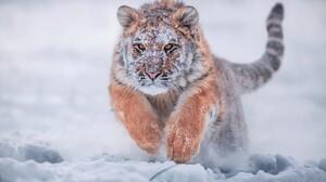 Baby Animal Running Siberian Tiger Snow Tiger Winter 2048x1365 Wallpaper