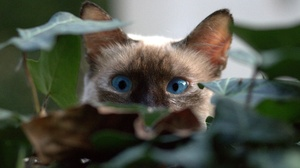 Blue Eyes Cat Pet Stare 1920x1281 wallpaper