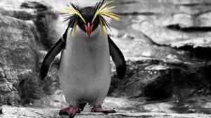 Animal Penguin Rockhopper Penguin 2048x1366 Wallpaper