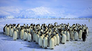 Animal Antarctica Ice King Penguin Mountain Penguin Snow 1600x1200 Wallpaper