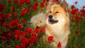 Dog Eurasier Flower Pet Poppy Red Flower Spitz Summer 2047x1365 Wallpaper
