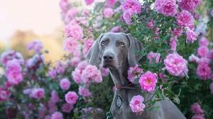 Flower Rose Dog Rose Bush Pet 1920x1281 Wallpaper
