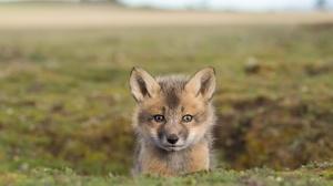 Baby Animal Cub Depth Of Field Fox Wildlife 1920x1244 Wallpaper