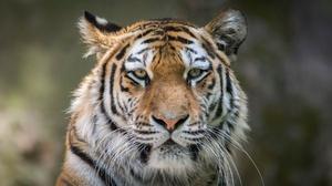 Big Cat Wildlife Stare Predator Animal 2048x1280 Wallpaper