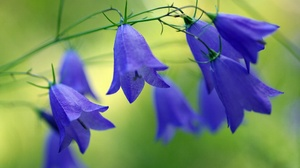 Blue Flower Bluebell Flower Nature 2232x1484 wallpaper