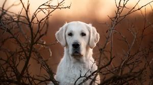Dog Golden Retriever Pet 2048x1296 Wallpaper