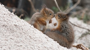 Kiss Rodent Squirrel Wildlife 3600x2025 wallpaper
