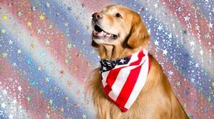 Dog Golden Retriever Pet Star 4375x2898 Wallpaper