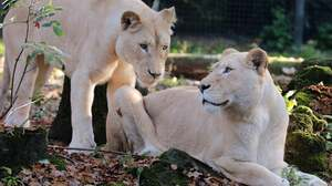 Animal Big Cat Lion White Lion Predator Animal 2048x1377 Wallpaper