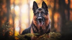 Bokeh Depth Of Field Dog German Shepherd Pet 2048x1365 Wallpaper