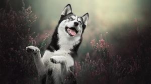 Dog Heather Pet 2048x1365 Wallpaper