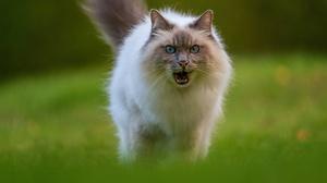 Cat Pet Ragdoll 2048x1319 Wallpaper
