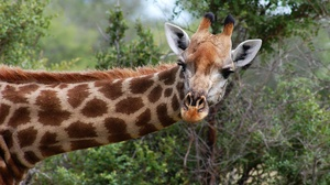 Giraffe Wildlife 2620x1905 wallpaper