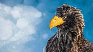 Bird Bird Of Prey Eagle Steller 039 S Sea Eagle 4928x2772 Wallpaper
