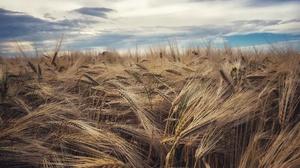 Nature Summer Wheat 3840x2160 Wallpaper