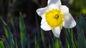 Earth Daffodil 1920x1200 Wallpaper