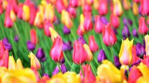 Field Flower Pink Flower Purple Flower Tulip Yellow Flower 2048x1367 Wallpaper