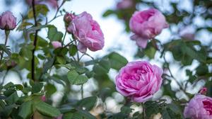Flower Pink Rose 6000x4000 wallpaper