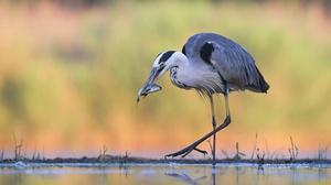 Bird Heron Reflection Wildlife 2499x1666 Wallpaper