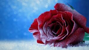 Bokeh Ice Red Rose Rose Snow 4500x3000 wallpaper