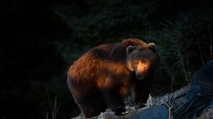 Bear Wildlife Predator Animal 2048x1255 Wallpaper