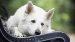 Bench Depth Of Field Dog Pet Resting White Shepherd 2560x1623 wallpaper