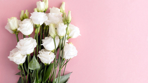 White Flowers Nature Flowers Pink Background 2560x1600 Wallpaper