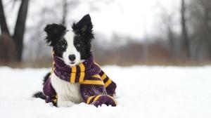 Dog Pet Scarf Winter Depth Of Field 2560x1707 Wallpaper
