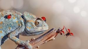 Chameleon Ladybug Lizard Reptile 2048x1365 Wallpaper